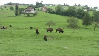 Reportage sur les élevages de bisons