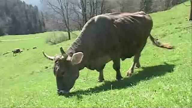Faut-il enlever les cornes aux vaches ?