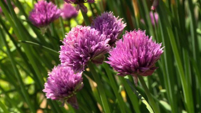 La culture des plantes médicinales et aromatiques