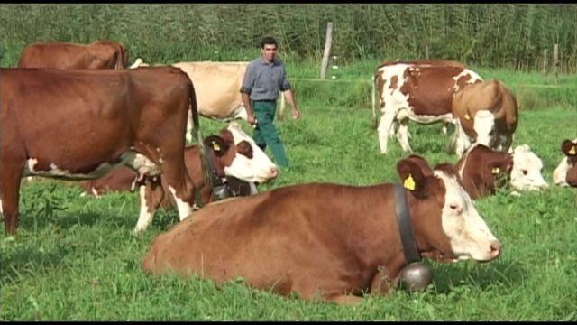 L'élevage de vaches en pâture intégrale, c'est quoi ?