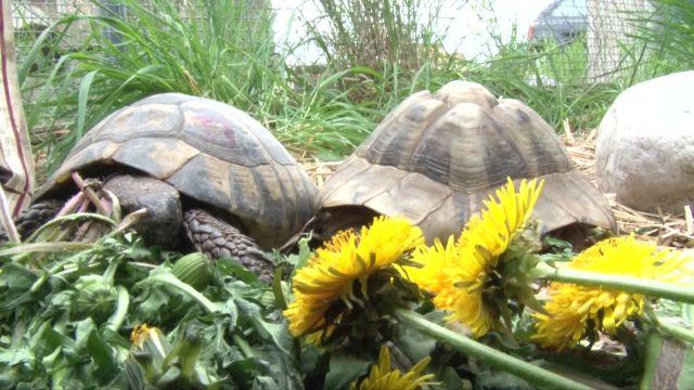 Des tortues à adopter