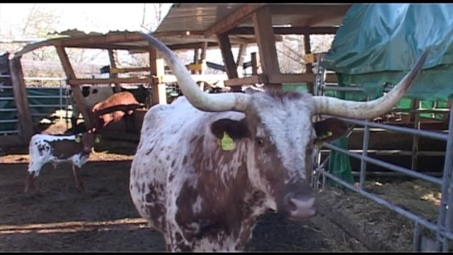 Les vaches, avec ou sans cornes?