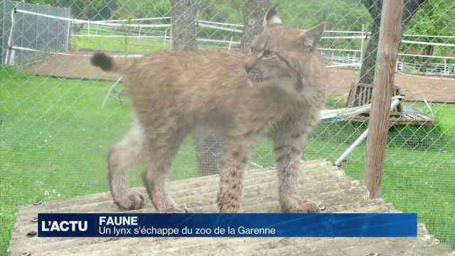 Un lynx s'échappe du Zoo de la Garenne
