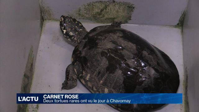 Deux tortues rares ont vu le jour à Chavornay (VD)