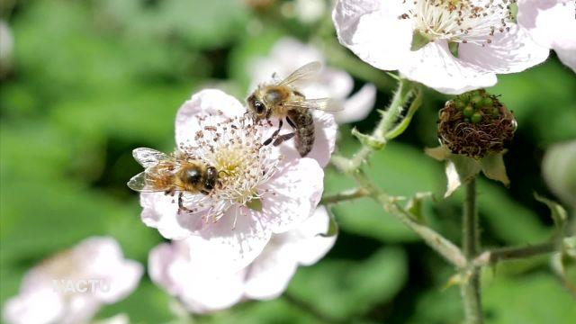 Douze souches d'abeilles sont testées à Grangeneuve