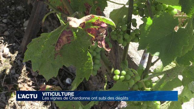 Les vignes de Chardonne (VD) ont subi des dégâts