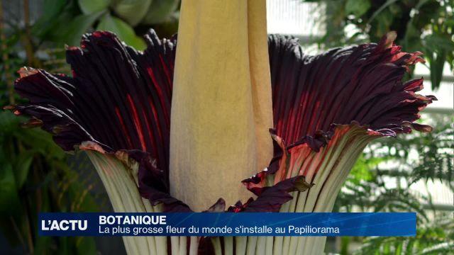La titanesque fleur-cadavre s'installe au Papiliorama
