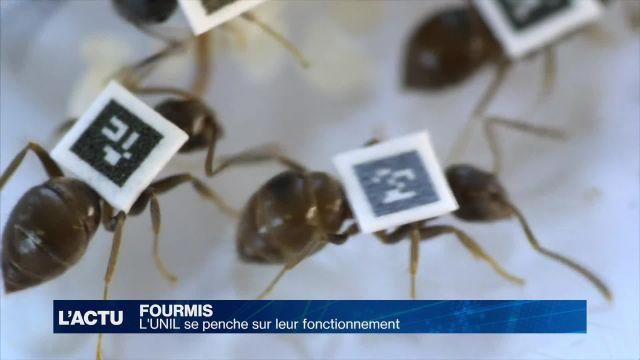 L'UNIL se penche sur le fonctionnement des fourmis