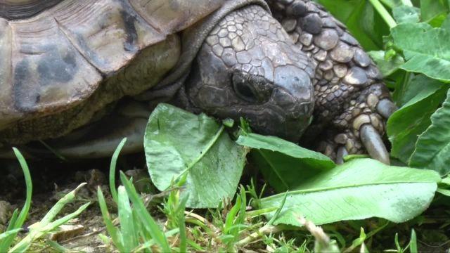 Les tortues de Chavornay