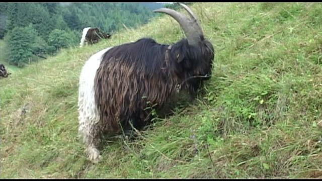 Les chèvres valaisanne à col noir