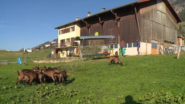 L'élevage caprin à Leysin