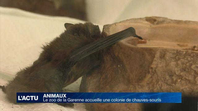 Le zoo de la Garenne accueille une colonie de chauves-souris