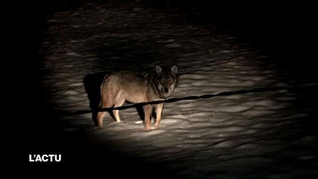Un loup se balade dans la région de Bulle