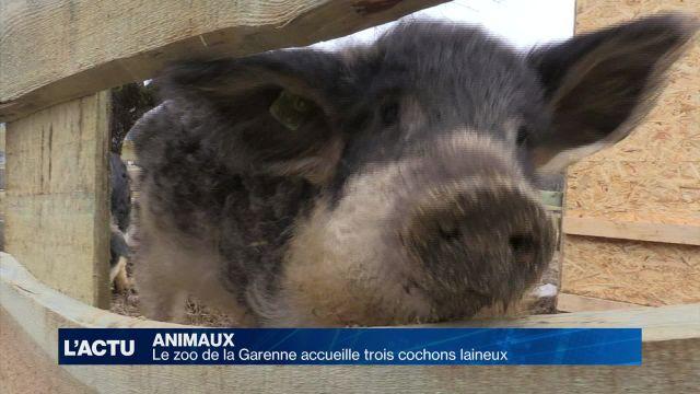 Le zoo de la Garenne accueille trois cochons laineux