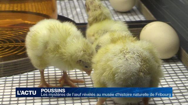 Les mystères de l'œuf révélés à Fribourg