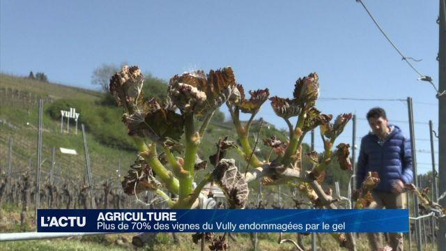 Plus de 70% des vignes du Vully endommagées par le gel