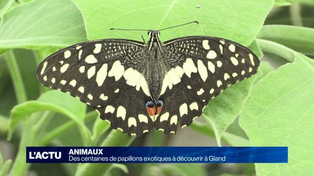 Des centaines de papillons présentés à Gland