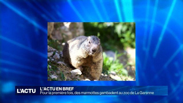 Trois marmottes gambadent au zoo de La Garenne