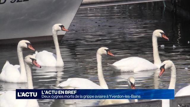 Deux cygnes morts de la grippe aviaire à Yverdon