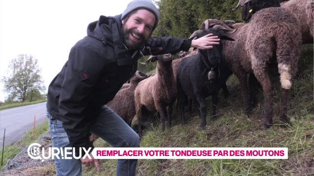 Remplacez votre tondeuse par des moutons