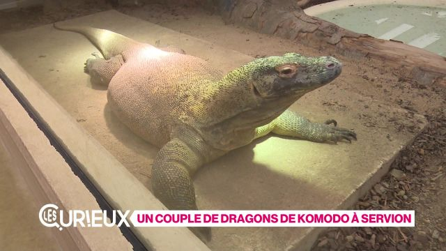Le seul couple de dragons de Komodo de Suisse