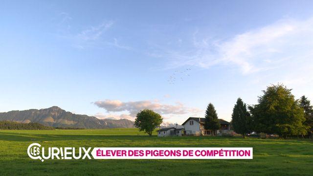 Elever des pigeons de compétition