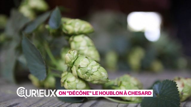 On décône le houblon à Chesard