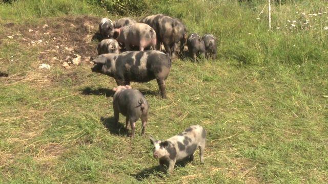 Les porcs Distel bigarrés