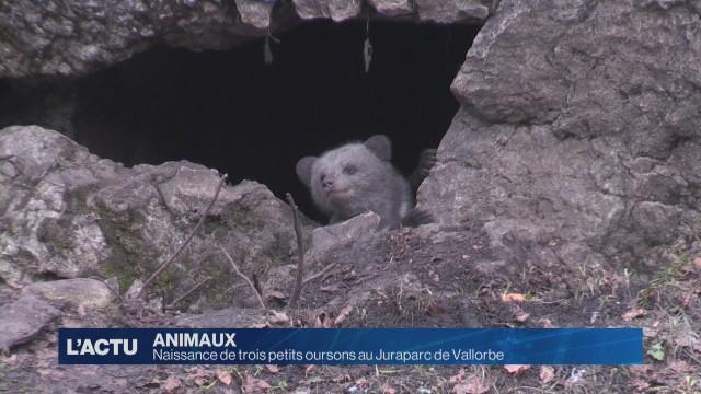 Naissance de trois petits oursons au Juraparc