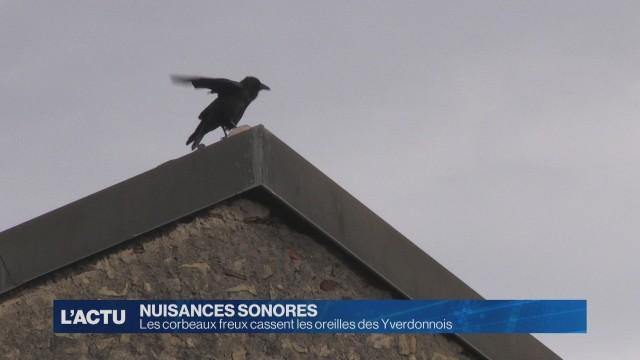 Les corbeaux freux cassent les oreilles des Yverdonnois.
