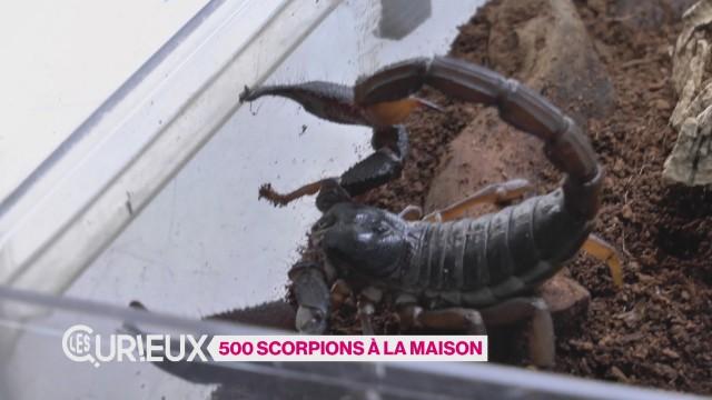 500 scorpions à la maison
