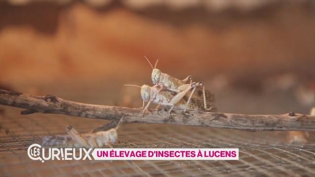 Un élevage d'insectes à Lucens