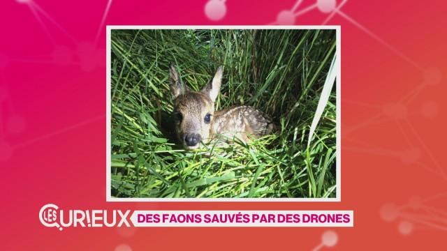 Des faons sauvés par des drones
