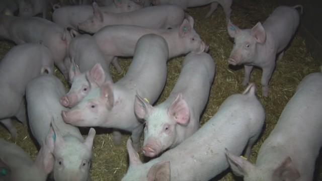 Inspection chez un éleveur de porcs