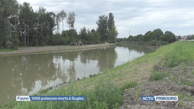 1'066 poissons morts à Sugiez