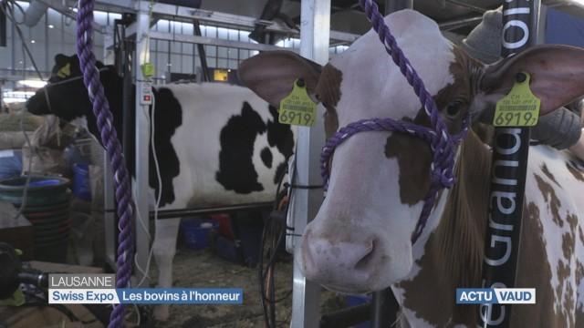 Swiss Expo: les bovins à l'honneur