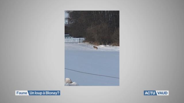 Un loup à Blonay?