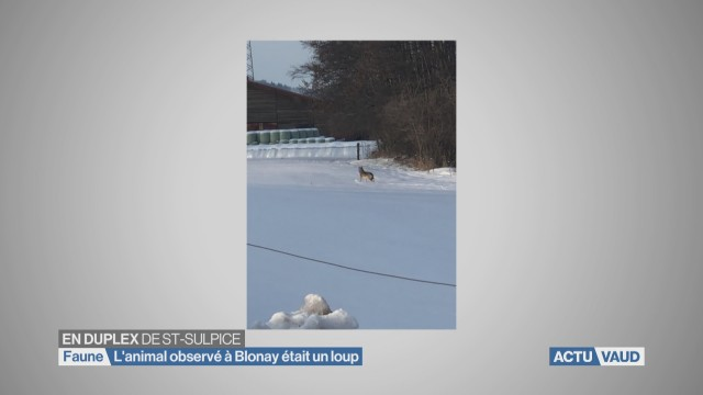 L'animal observé à Blonay était un loup
