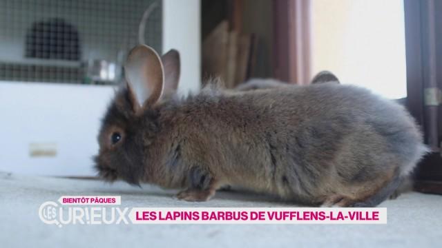 Les lapins barbus de Vufflens-la-Ville