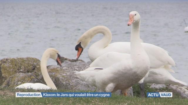 Klaxon : le jars qui se prenait pour un cygne