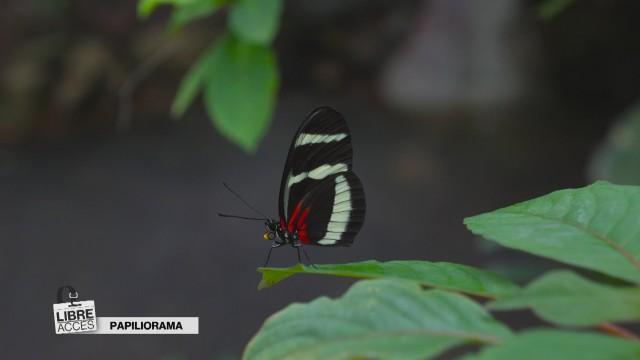 Libre accès au Papiliorama